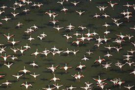 Tim Fitzharris - Aerial view of a mixed flock of Lesser Flamingo group Kenya, Africa