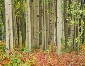 Tim Fitzharris - Aspen trees and Fireweed, Collegiate Peaks Wilderness Area, Colorado
