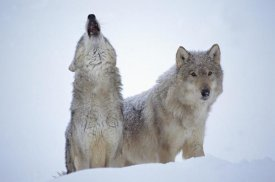 Tim Fitzharris - Timber Wolves close-up portrait of pair howling in snow, North America