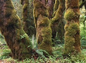 Tim Fitzharris - Mossy big-leaf maples, Hoh Rainforest, Olympic National Park, Washington