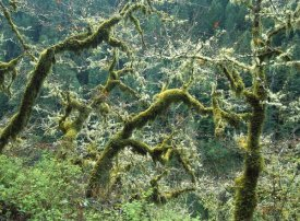 Tim Fitzharris - Mossy Oak trees at Eagle Creek, springtime, Columbia River Gorge, Oregon