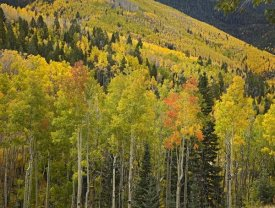 Tim Fitzharris - Aspen trees in autumn, Santa Fe National Forest near Santa Fe, New Mexico