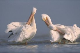 Tim Fitzharris - American White Pelican pair preening in shallow water, Texas Coast, Texas