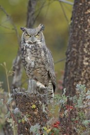 Tim Fitzharris - Great Horned Owl in its pale form perching on snag, British Columbia, Canada