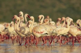 Tim Fitzharris - Lesser Flamingo group parading in a mass courtship dance, Lake Bogoria, Kenya
