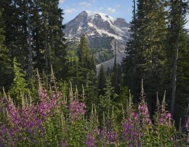 Tim Fitzharris - Fireweed flowering and Mount Rainier, Mount Rainier National Park, Washington