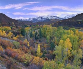 Tim Fitzharris - Quaking Aspen forest in autumn, Snowmass Mountain near Quaking Aspen, Colorado