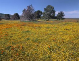 Tim Fitzharris - California Poppy and Eriophyllum flowers in field, Antelope Valley, California