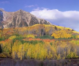 Tim Fitzharris - Quaking Aspen forest in autumn, Marcellina Mountain, Raggeds Wilderness, Colorado