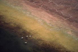 Tim Fitzharris - Lesser Flamingo flock of four flying over soda flats at the edge of Lake Magadi, Kenya