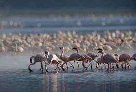 Tim Fitzharris - Lesser Flamingo group feeding enmass in the shallow waters of Lake Bogoria, Kenya, Africa