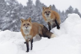 Tim Fitzharris - Red Fox pair in snow fall showing the black and red markings of their cross phase, Montana
