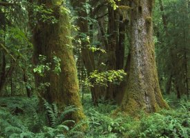 Tim Fitzharris - Moss-covered trees and dense undergrowth in the Hoh Temperate Rainforest, Olympic National Park, Washington