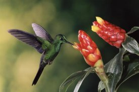 Michael and Patricia Fogden - Green-crowned Brilliant hummingbird, feeding and pollinating Spiral Flag ginger flowers, Monteverde Cloud Forest Reserve, Costa Rica