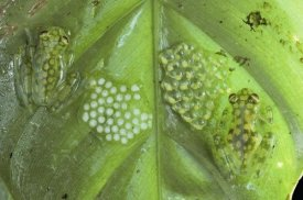 Michael and Patricia Fogden - Reticulated Glass Frogs guarding two clutches of eggs, each at different stages of development, Costa Rica