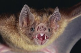 Michael and Patricia Fogden - Vampire Bat portrait, Costa Rica