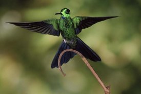 Michael and Patricia Fogden - Green-crowned Brilliant male, cloud forest, Costa Rica