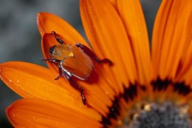 Michael and Patricia Fogden - Scarab Beetle on a Guzmania flower, Damaraland, Namibia