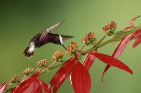 Michael and Patricia Fogden - Snowcap a hummingbird, feeding on Madder flowers in rainforest, Costa Rica