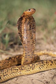 Michael and Patricia Fogden - Cape Cobra speckled morph, in defensive display, showcasing hood threat, Africa