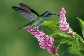 Michael and Patricia Fogden - Green Violet-ear hummingbird feeding at and pollinating epiphytic Orchid Costa Rica