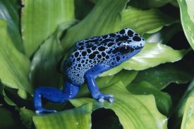 Michael and Patricia Fogden - Blue Poison Dart Frog very tiny frog used by Indian tribes to poison tips of arrows, native to South America