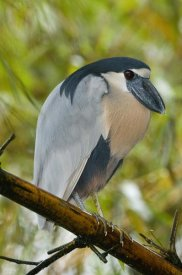 Steve Gettle - Boat-billed Heron, Costa Rica