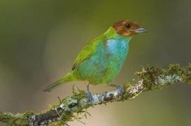 Steve Gettle - Bay-headed Tanager, Costa Rica