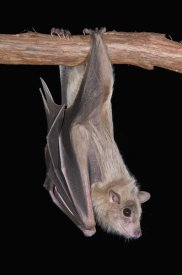 Steve Gettle - Egyptian Fruit Bat roosting, Michigan