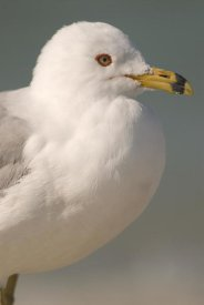 Steve Gettle - Ring-billed Gull, Fort Desoto Park, Florida