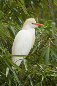 Steve Gettle - Cattle Egret in breeding plumage, Costa Rica