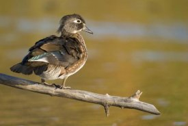 Steve Gettle - Wood Duck female, North Chagrin Reservation, Ohio