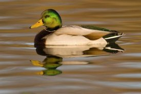 Steve Gettle - Mallard swimming, Kellogg Bird Sanctuary, Michigan