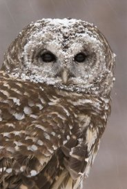 Steve Gettle - Barred Owl in winter, Howell Nature Center, Michigan