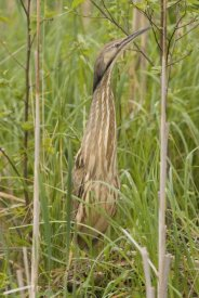Steve Gettle - American Bittern, Magee Marsh Wildlife Area, Michigan