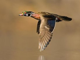 Steve Gettle - Wood Duck male flying, Lapeer State Game Area, Michigan