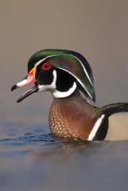 Steve Gettle - Wood Duck male calling, Lapeer State Game Area, Michigan