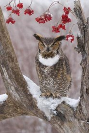 Steve Gettle - Great Horned Owl in winter, Howell Nature Center, Michigan