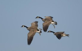 Steve Gettle - Canada Goose trio flying, Kellogg Bird Sanctuary, Michigan