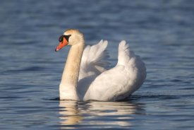 Steve Gettle - Mute Swan swimming, Kensington Metropark, Milford, Michigan