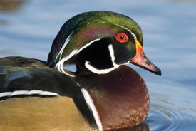 Steve Gettle - Wood Duck male in breeding plumage, North Chagrin Reservation, Ohio