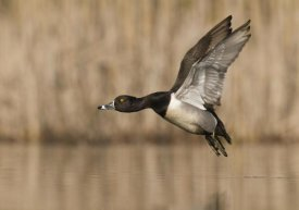 Steve Gettle - Ring-necked Duck male flying, Island Lake Recreation Area, Michigan