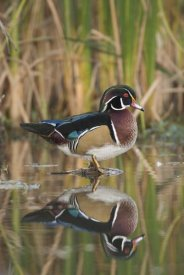 Steve Gettle - Wood Duck male in breeding plumage, Lapeer State Game Area, Michigan