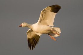 Steve Gettle - Snow Goose flying, Bosque del Apache National Wildlife Refuge, New Mexico