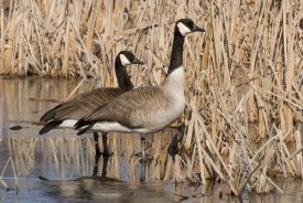Steve Gettle - Canada Goose pair in frozen marsh, Kensington Metropark, Milford, Michigan