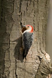 Steve Gettle - Red-bellied Woodpecker male at nest cavity, Huron Meadows Metropark, Michigan