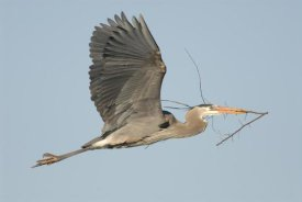 Steve Gettle - Great Blue Heron flying with nest material, Kensington Metropark, Milford, Michigan