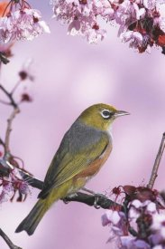 Jonathan Harrod - Silvereye on cherry blossom in spring, Christchurch, New Zealand