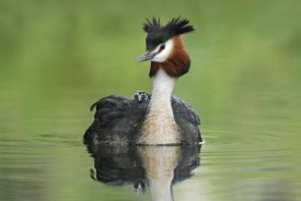 Jonathan Harrod - Great Crested Grebe with chick on its back, Lake Alexandrina, New Zealand