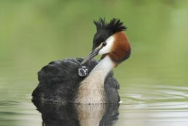 Jonathan Harrod - Great Crested Grebe grooming chick on its back, Lake Alexandrina, New Zealand